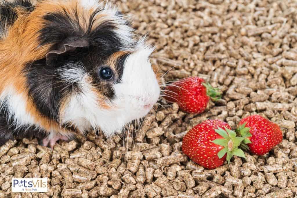 guinea pig sitting beside 3 strawberries