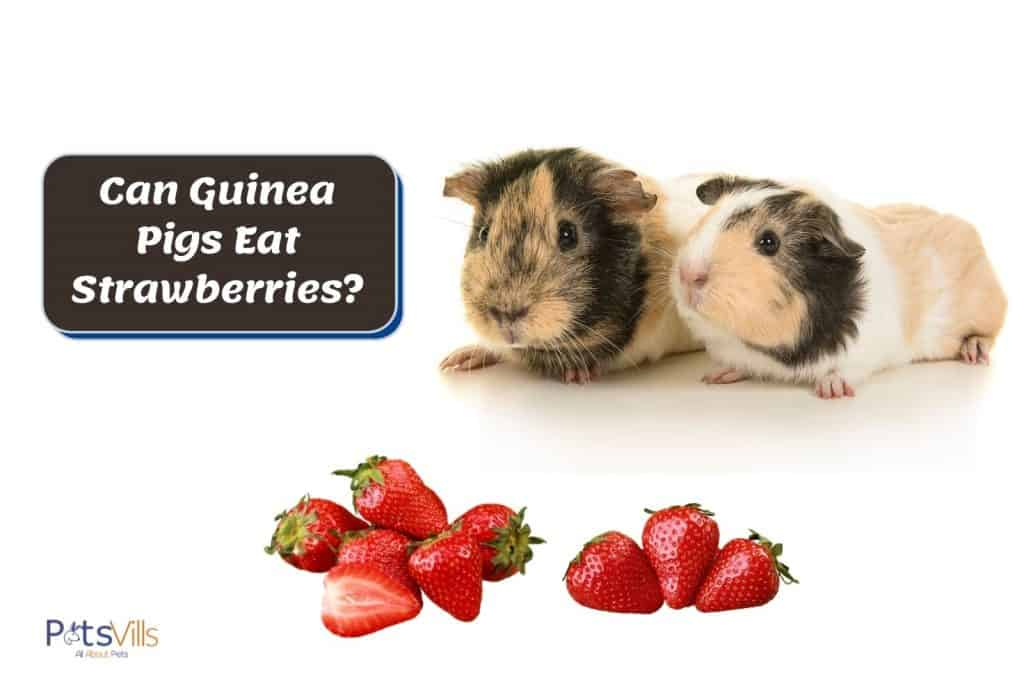 two brown guinea pigs looking at the strawberries but can guinea pigs eat strawberries?