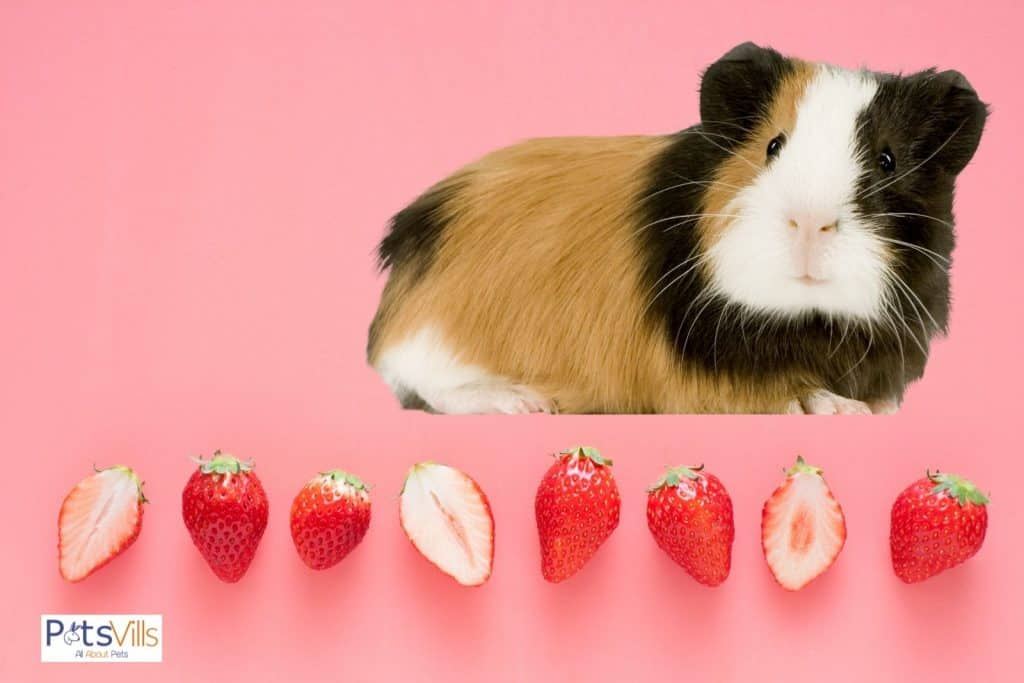 strawberries and a guinea pig: can guinea pigs eat strawberries?