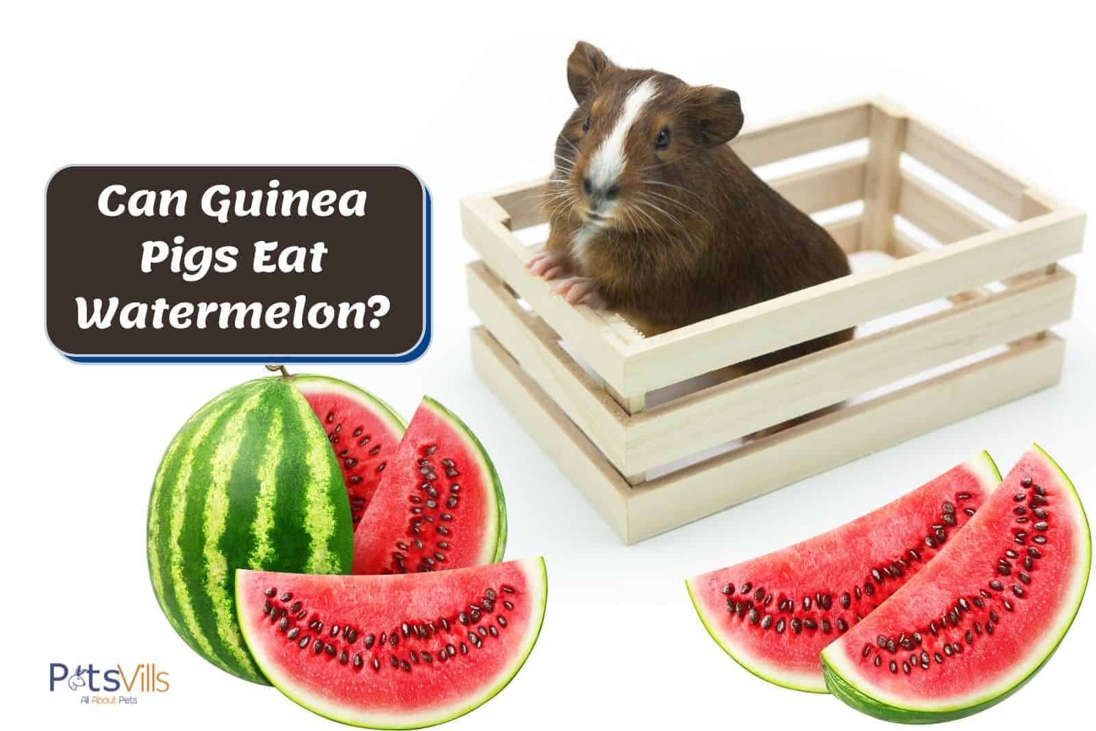 guinea pig in a box and fresh watermelons outside: can guinea pigs eat watermelon?