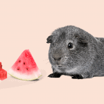 gray guinea pig and slices of watermelon