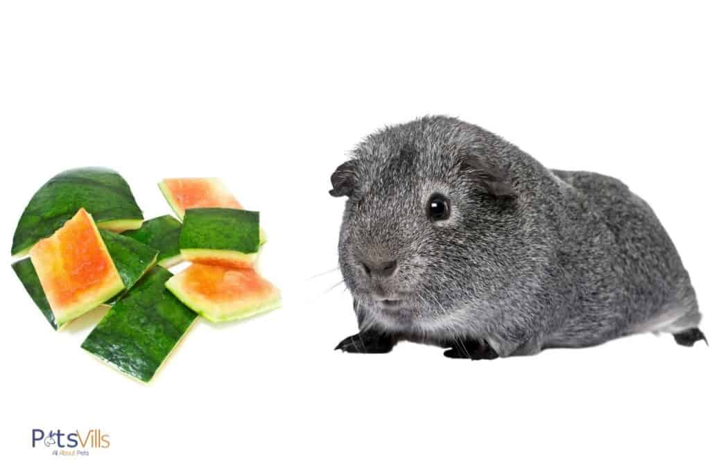 a cute gray cavy staring at the watermelon rinds: can guinea pigs eat watermelon rinds?