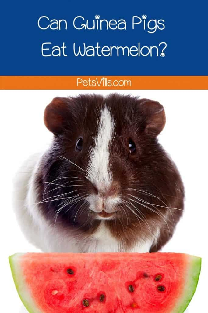 guinea pig with fresh watermelon in front of him but can guinea pigs eat watermelon?
