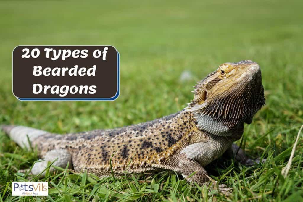 bearded dragon lying on the grass
