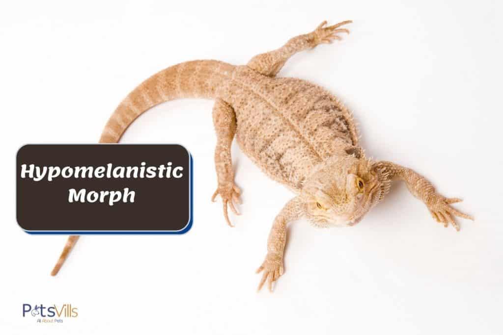hypomelanistic morph