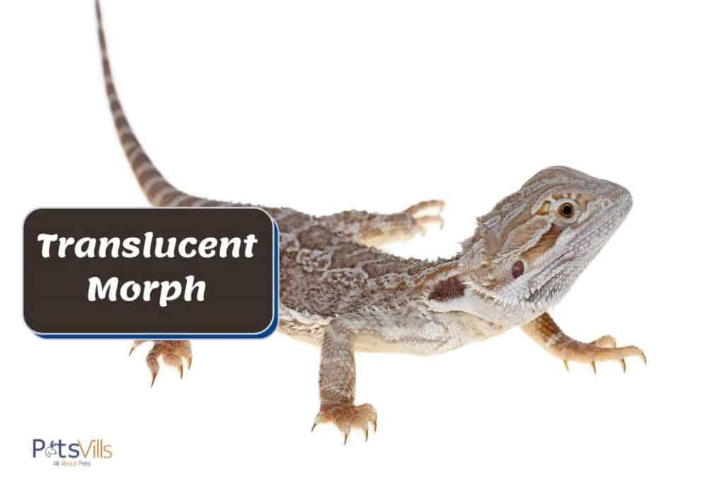 translucent morph