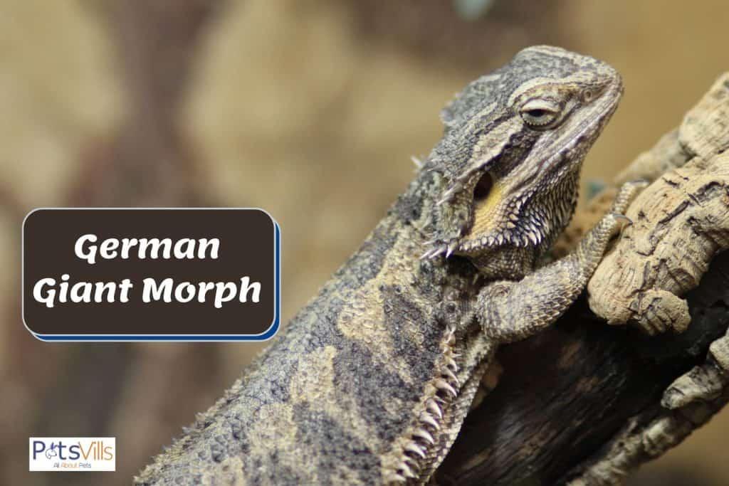 German giant morph