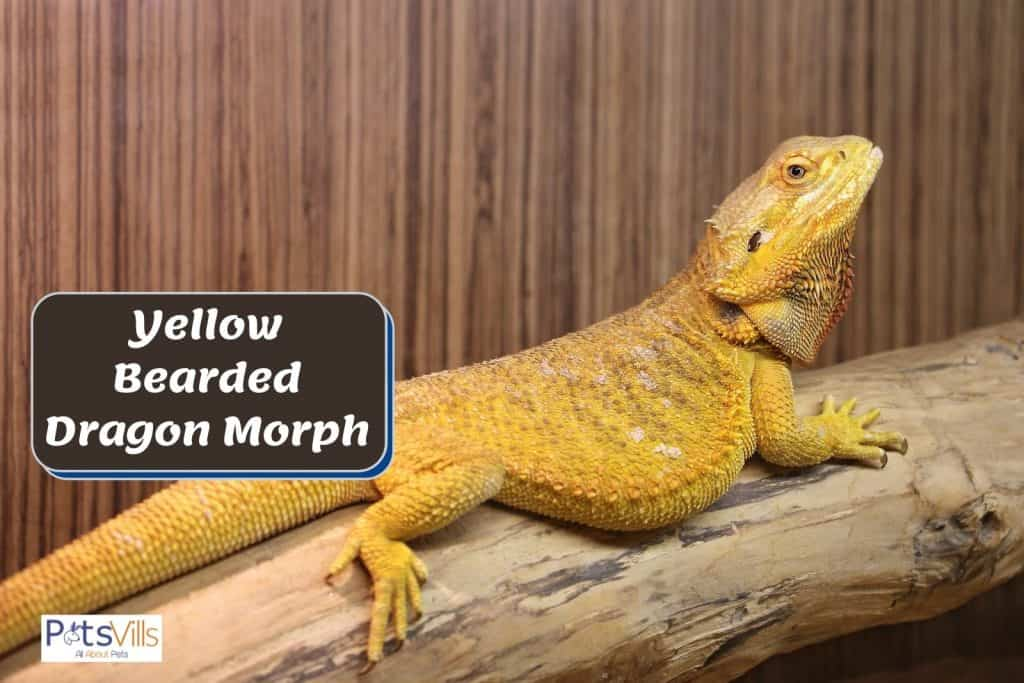 yellow bearded dragon on a branch of tree