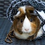 a pretty guinea pig wearing a polka dot dress