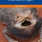 bearded dragon with open mouth and text what NOT to feed your bearded dragon