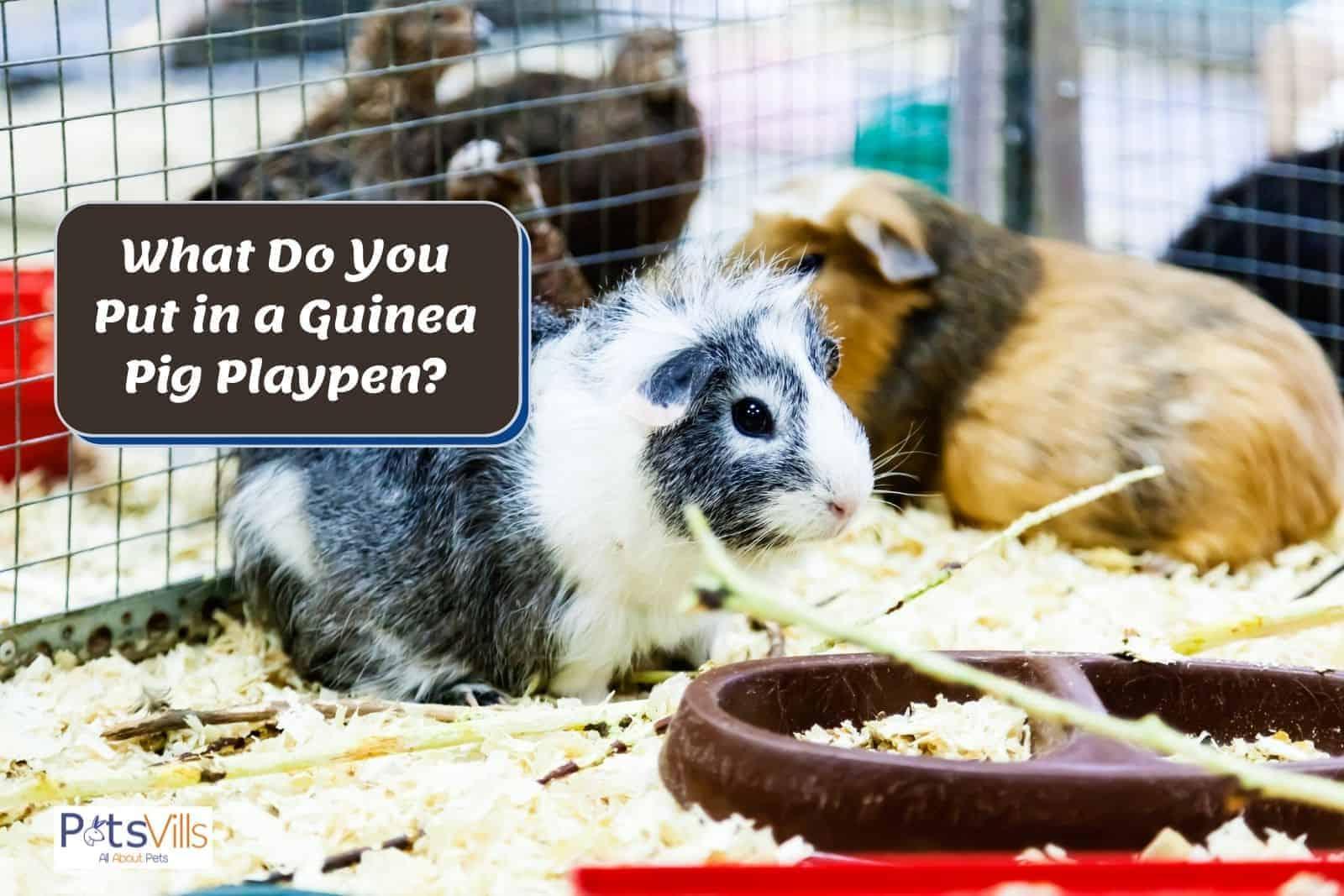 guinea pigs in a playpen