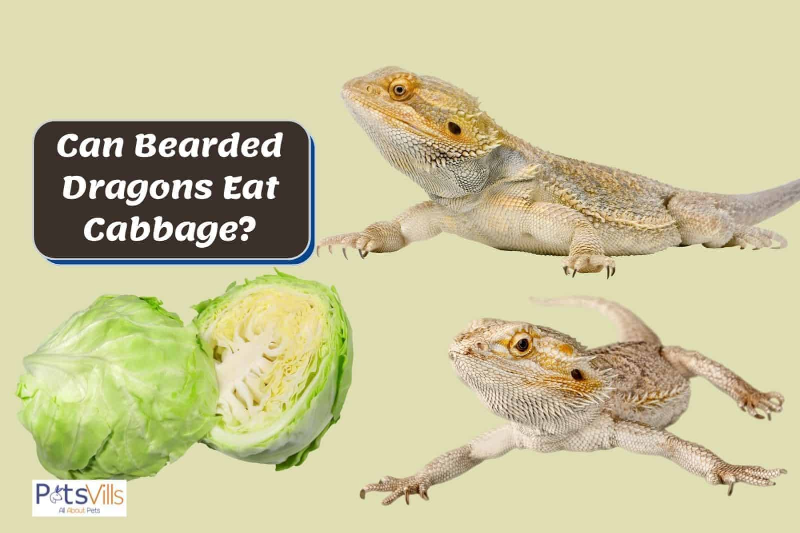 two bearded dragons and a chopped cabbage: can bearded dragons eat cabbage?
