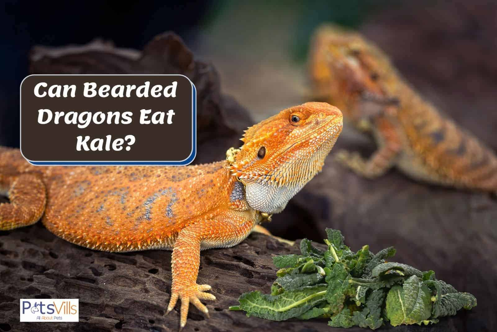 orange bearded dragon and kales in front of him: can bearded dragons eat kale?