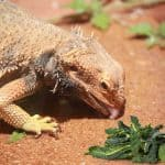 bearded dragon licking the surface beside a kale