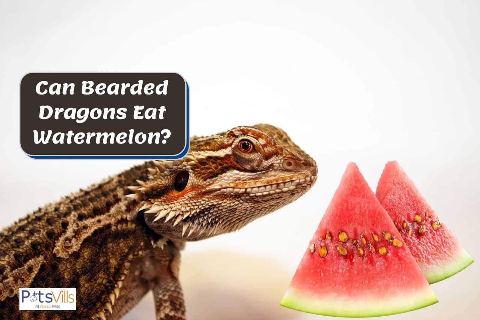 bearded dragon and fresh slices of watermelon: can bearded dragons eat watermelon?