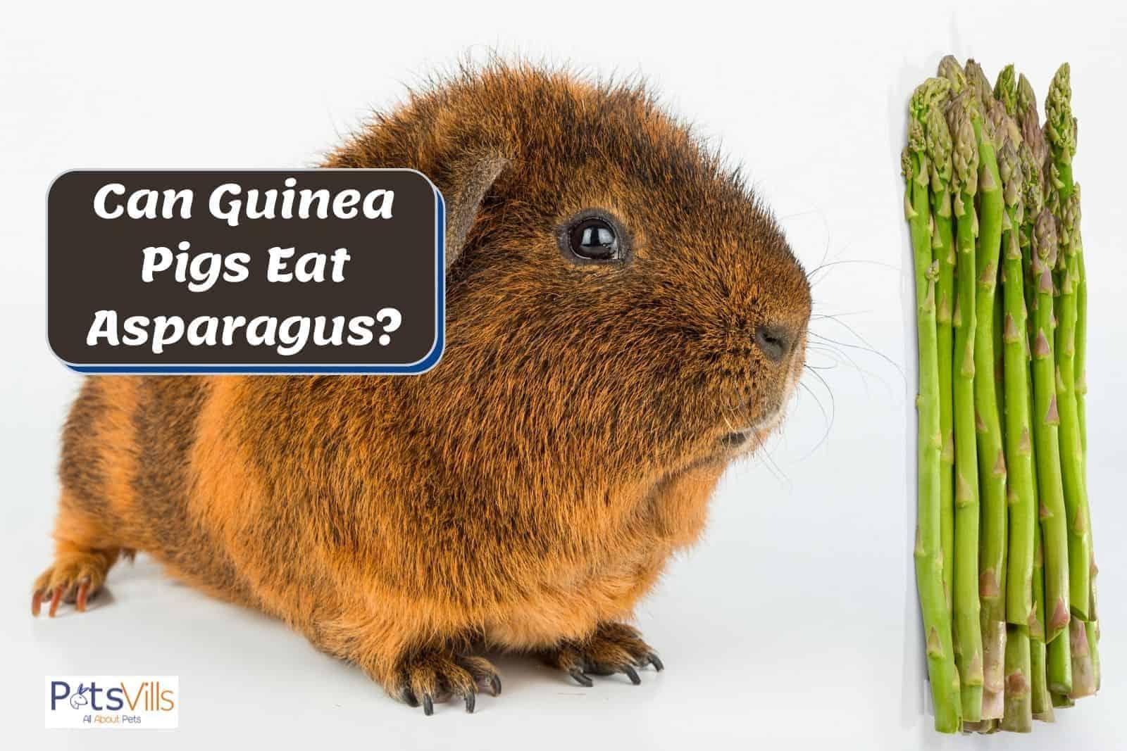 guinea pig smelling asparagus but can guinea pigs eat asparagus?