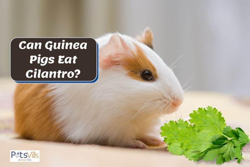 guinea pig smelling cilantro but can guinea pigs eat cilantro?