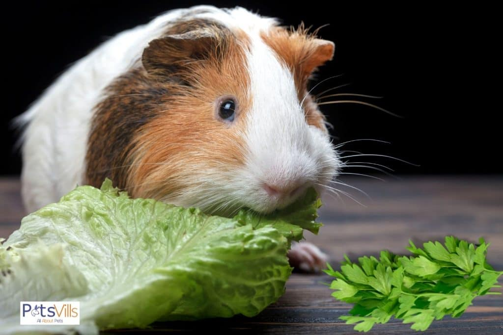 guinea pig eating cabbage and cilantro