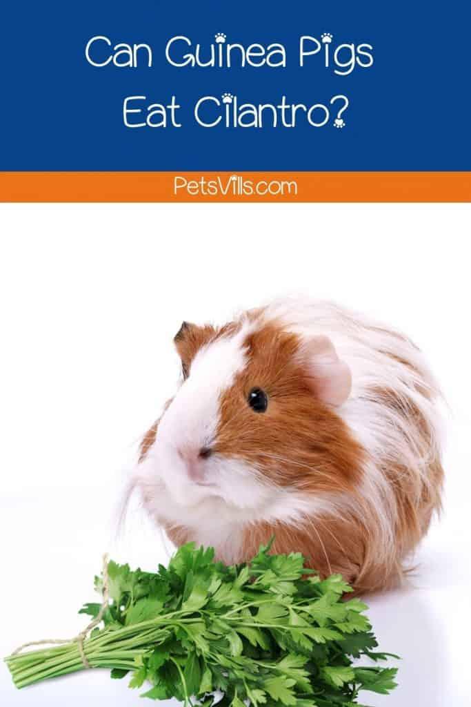 guinea pig with a bunch of fresh cilantros