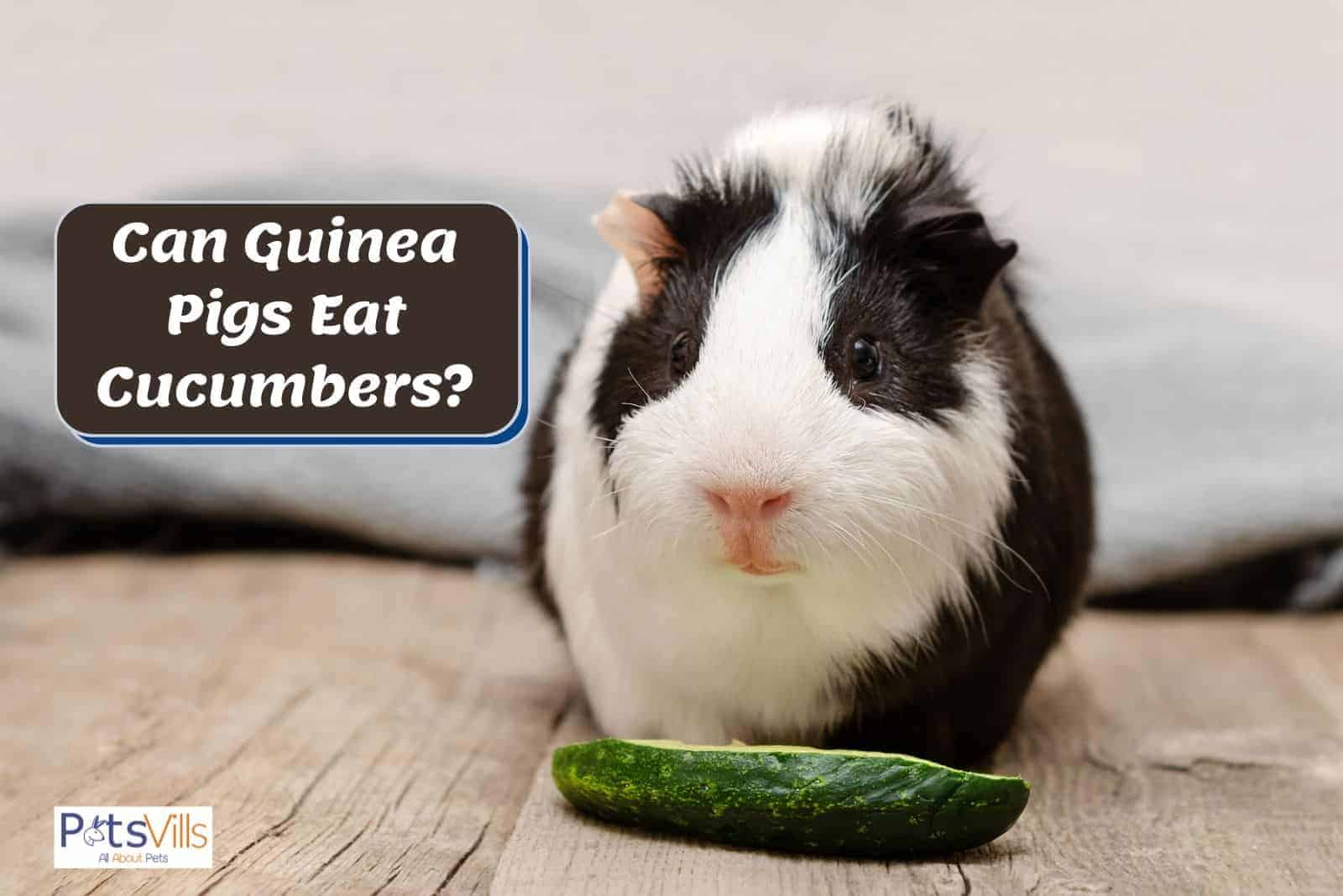 black and white guinea pig and a cucumber in front of him: can guinea pigs eat cucumbers?