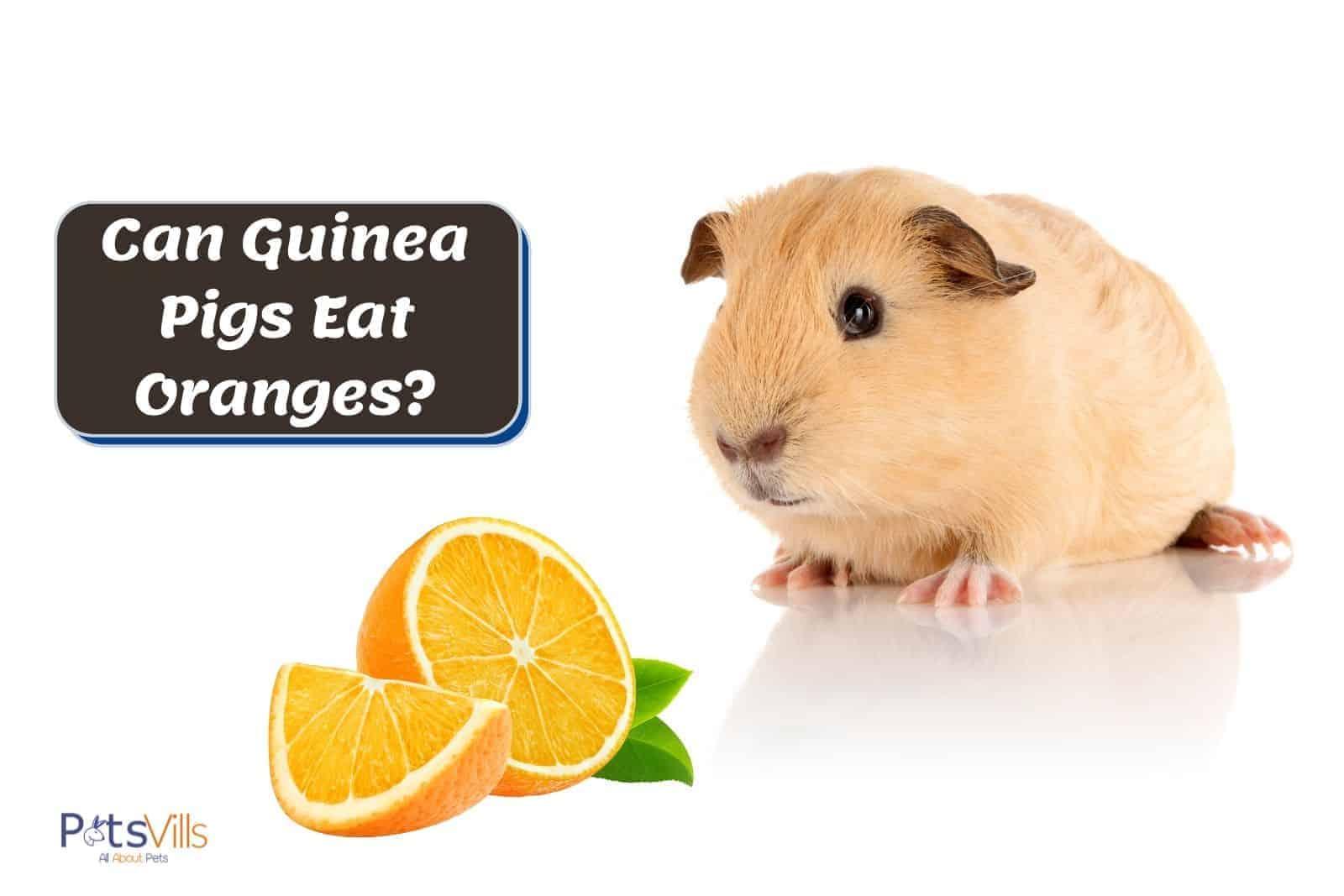 brown guinea pig and freshly cut orange: can guinea pigs eat oranges?