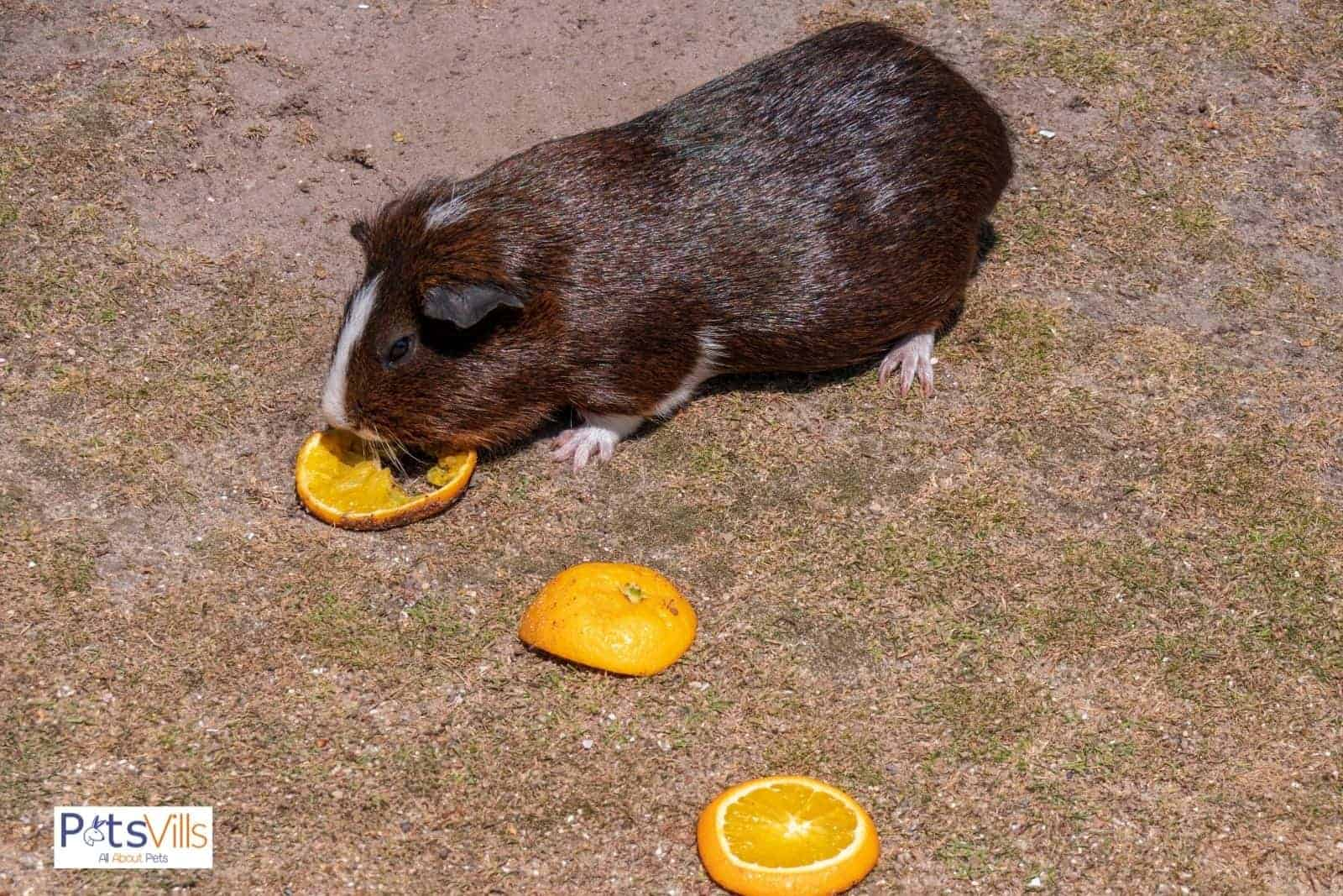 brown guinea pig eating orange but can guinea pigs eat oranges safely?