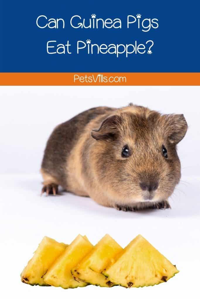 guinea pig looking at the pieces of fresh pineapple but can guinea pigs eat pineapple?