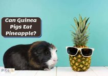 Can Guinea Pigs Eat Pineapple? Is it Good or Bad for Them?