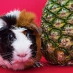 tri-colored cavy beside a pineapple