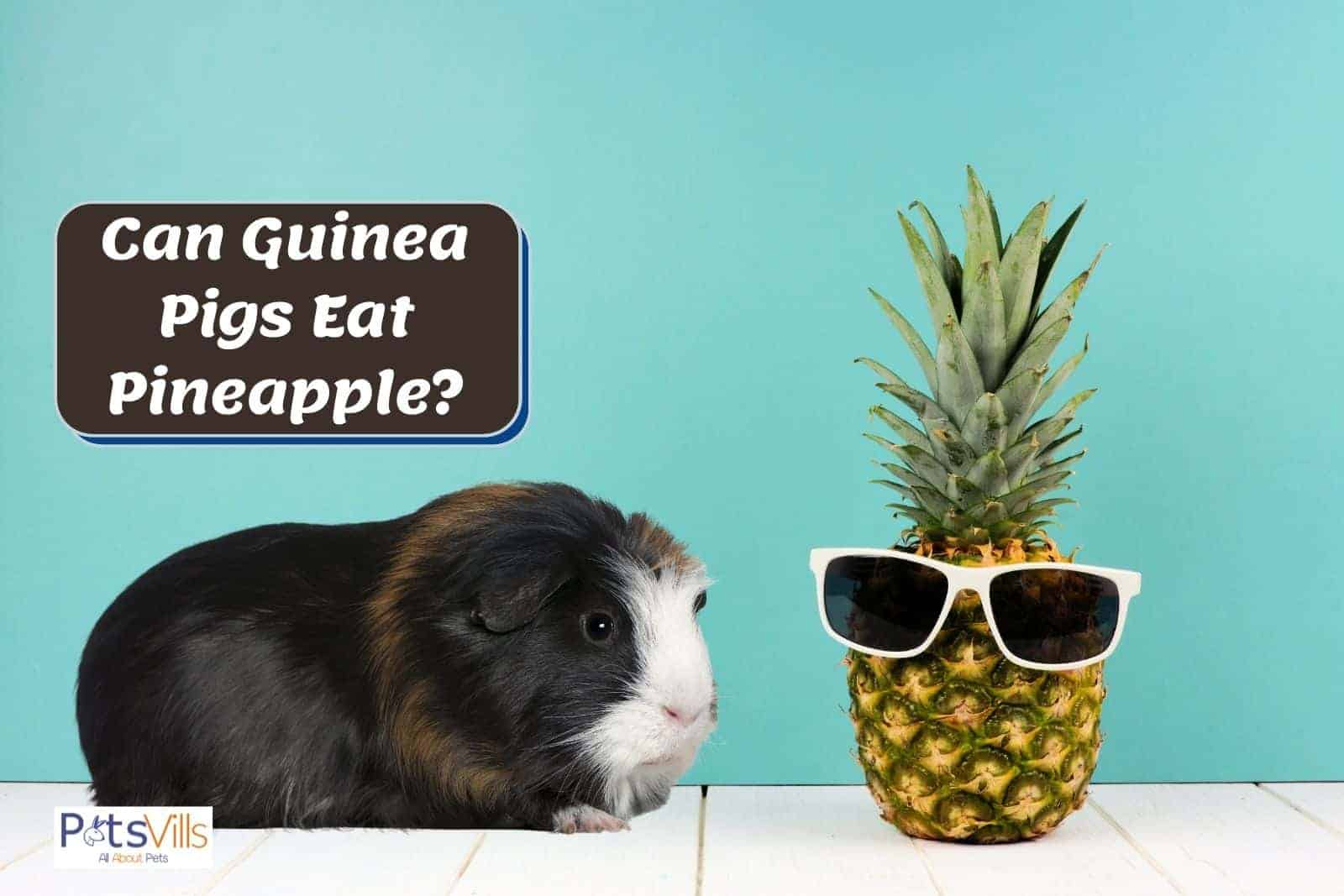 guinea pig and a pineapple: can guinea pigs eat pineapple?