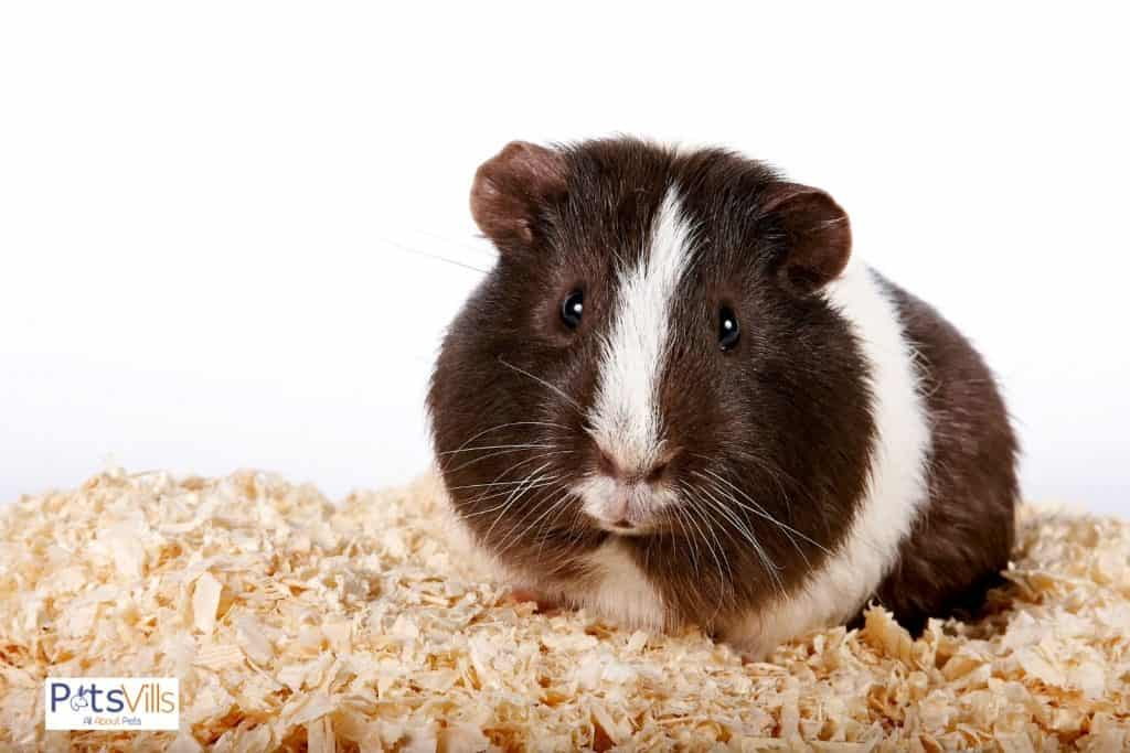 guinea pig sitting on top of wood chips