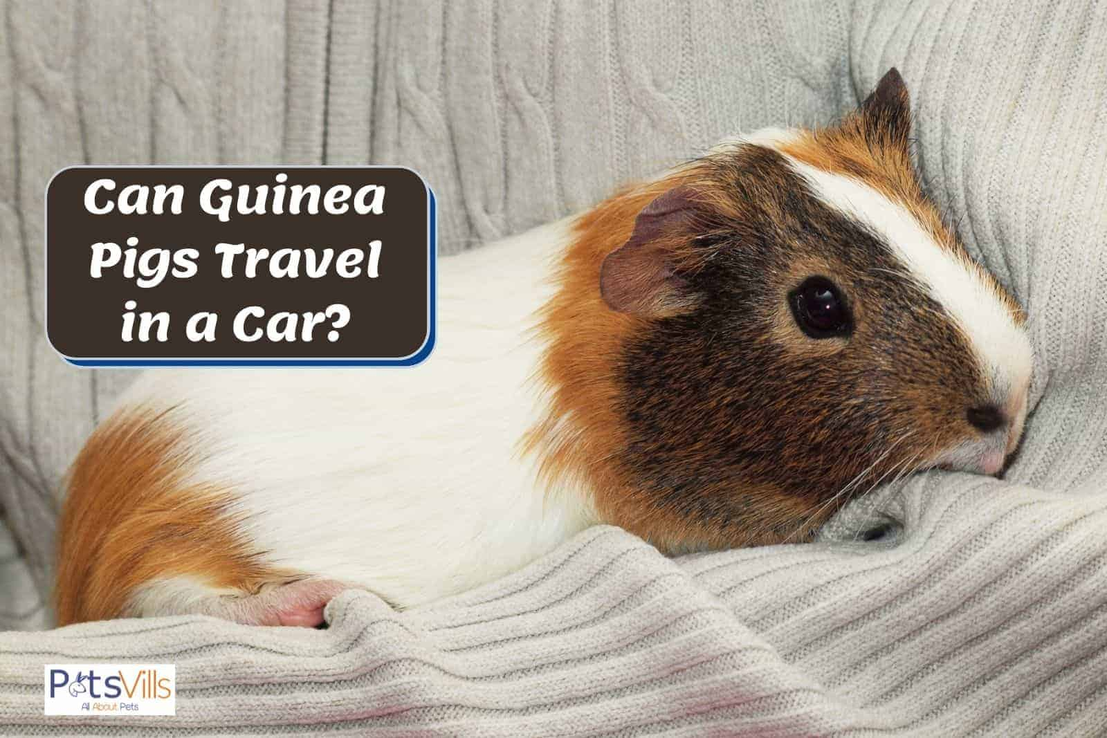 a cute guinea pig carried by a lady but can guinea pigs travel in a car?