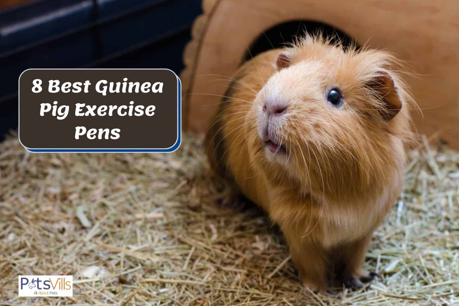 a cute brown guinea pig in a guinea pig exercise pen