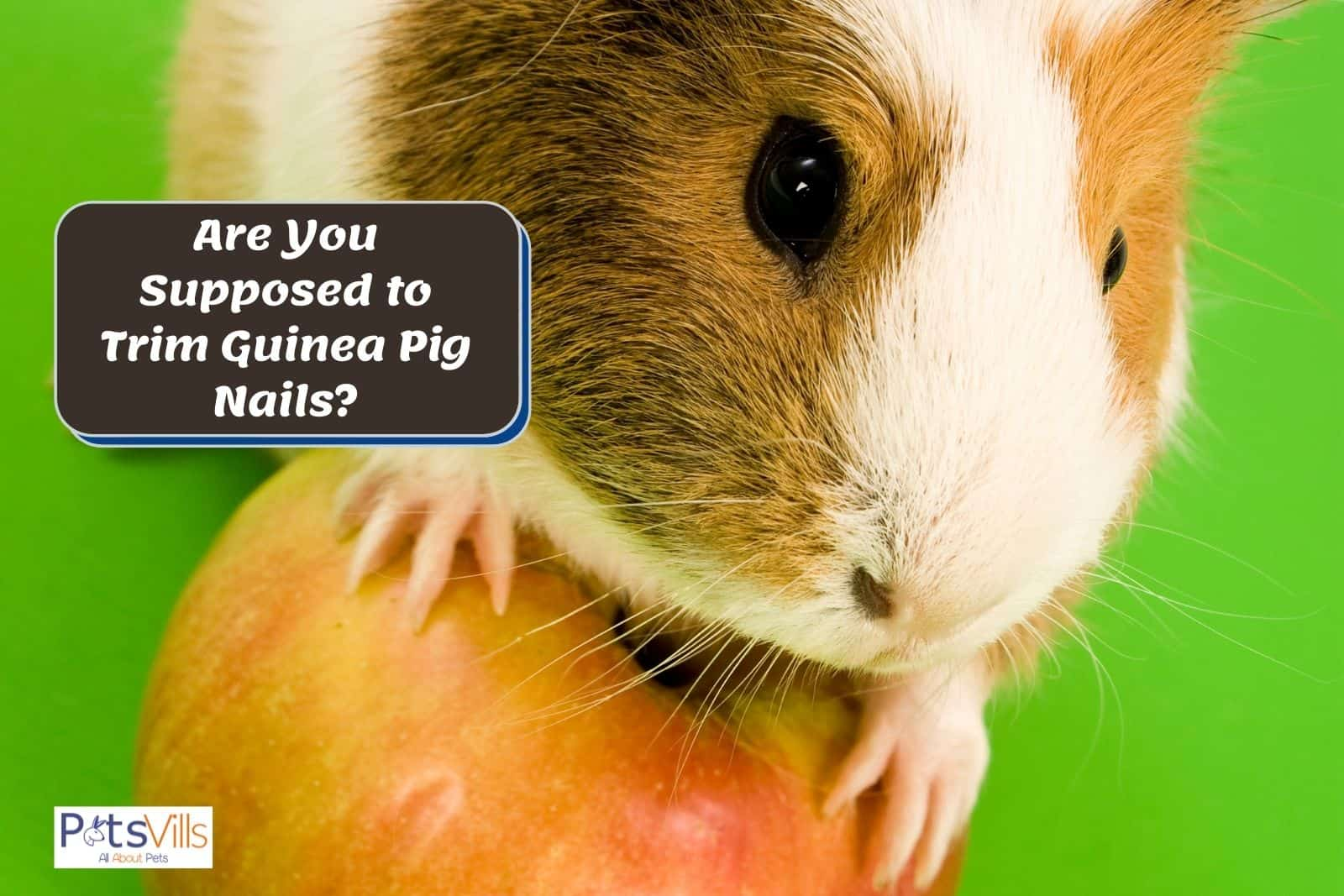 guinea pig with long nails: are you supposed to trim guinea pig nails