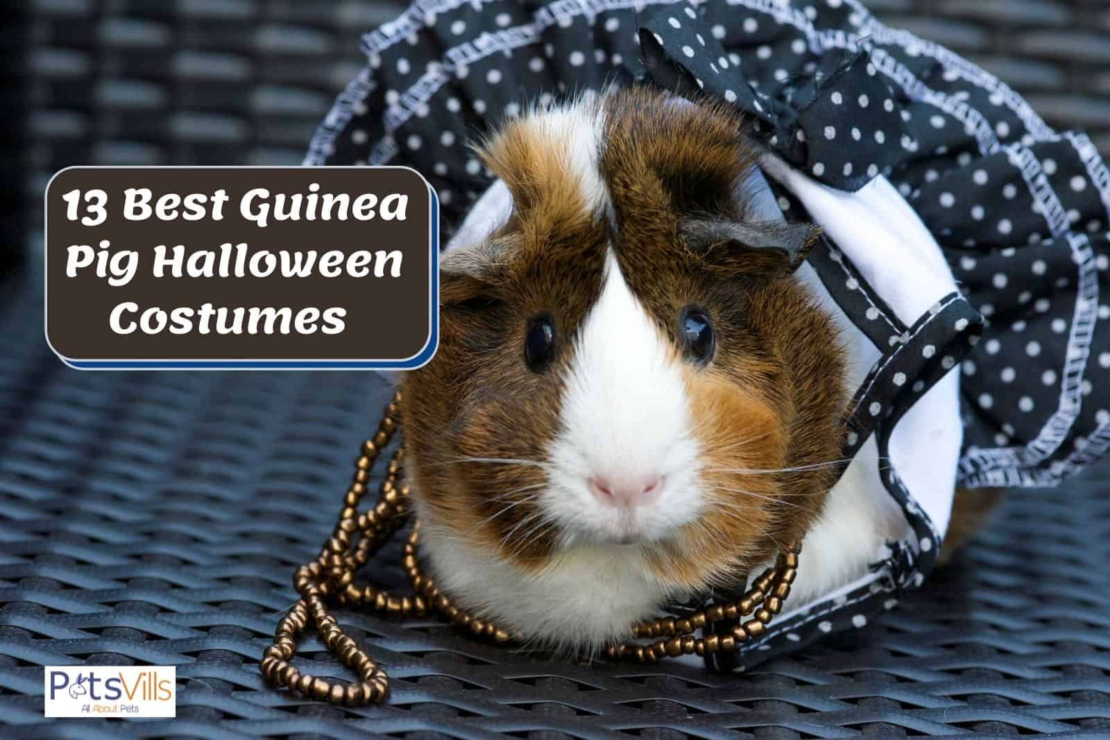 cavy wearing a black dress, one of the Best Guinea Pig Halloween Costumes