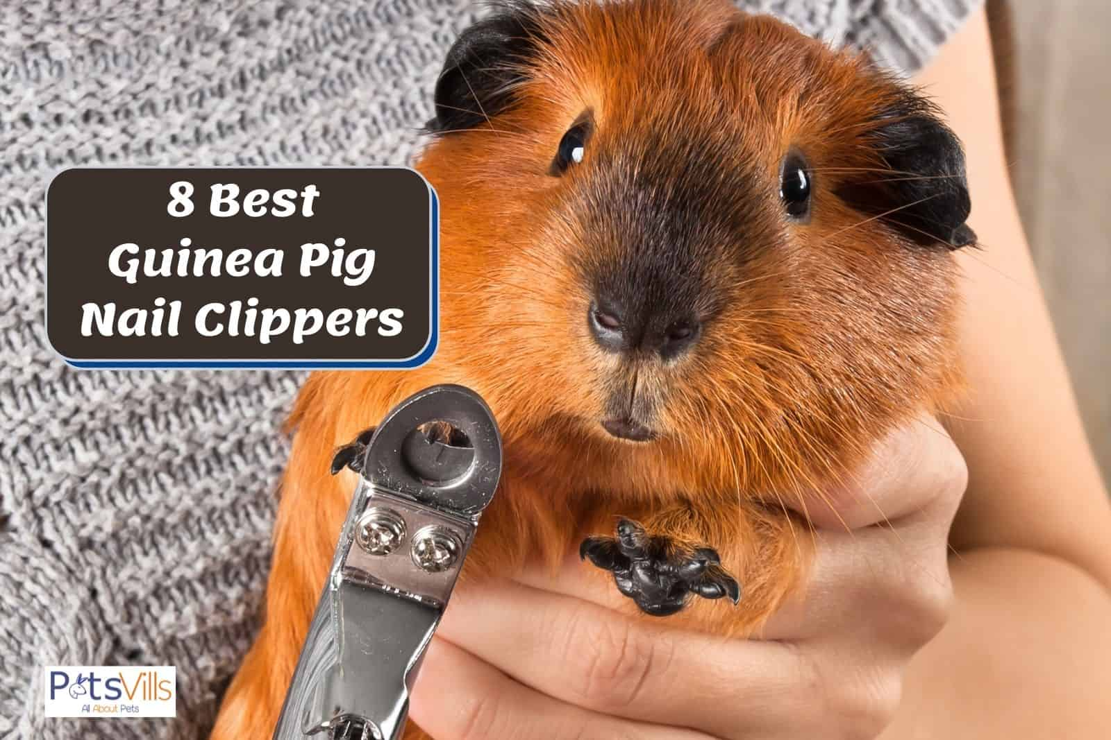 lady trimming his cavy's nails using the Best Guinea Pig Nail Clippers
