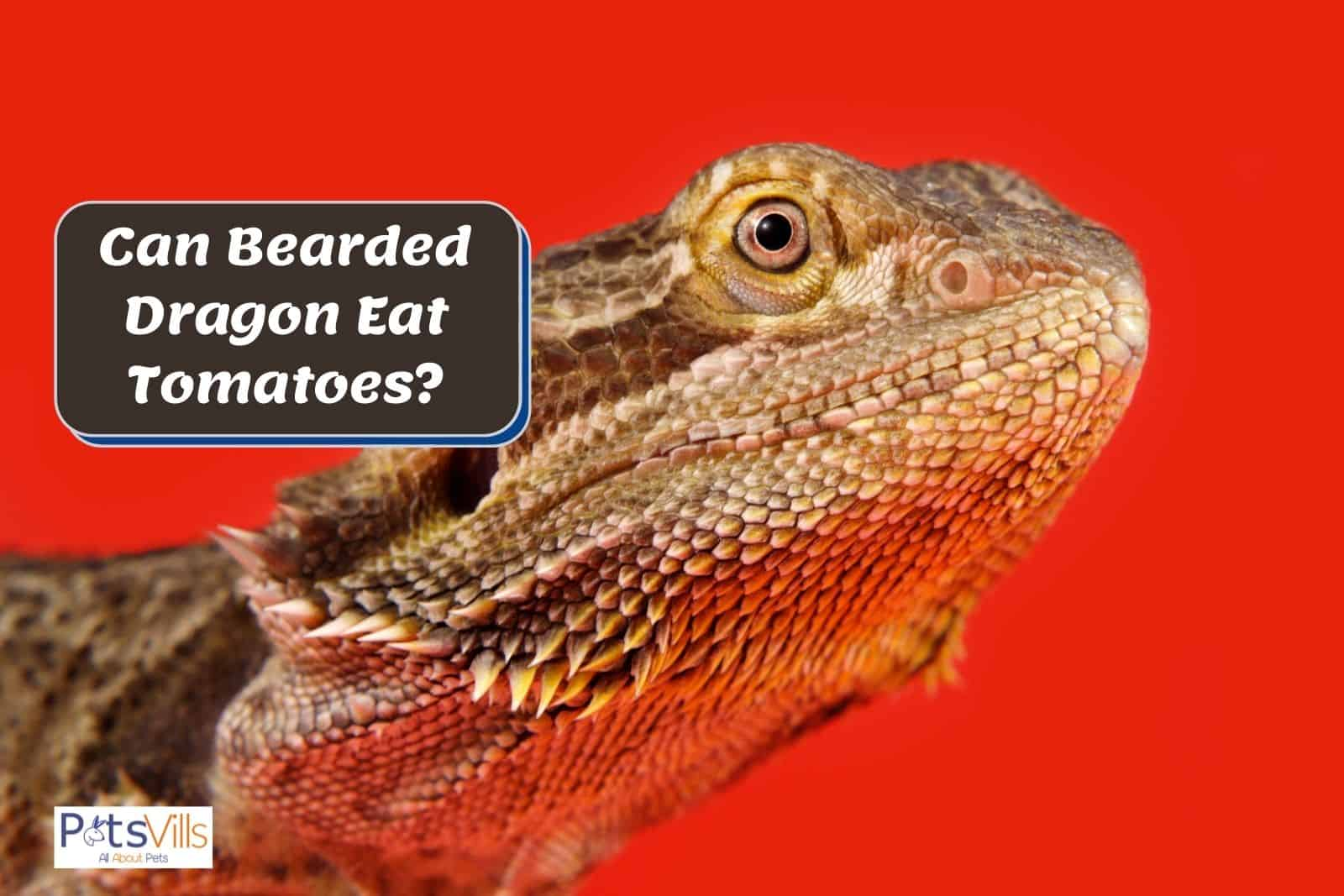 bearded dragon with red background; can bearded dragon eat tomatoes?