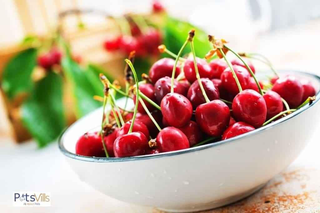 fresh cherries on a white bowl: can bearded dragons eat cherries?