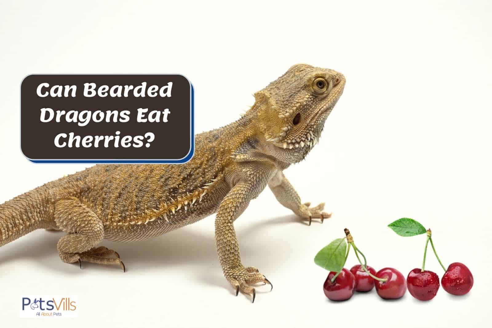beardie and cherries: Can Bearded Dragons Eat Cherries?