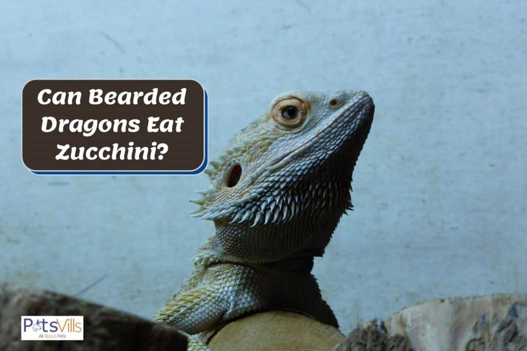 bearded dragon with a pale bakcground