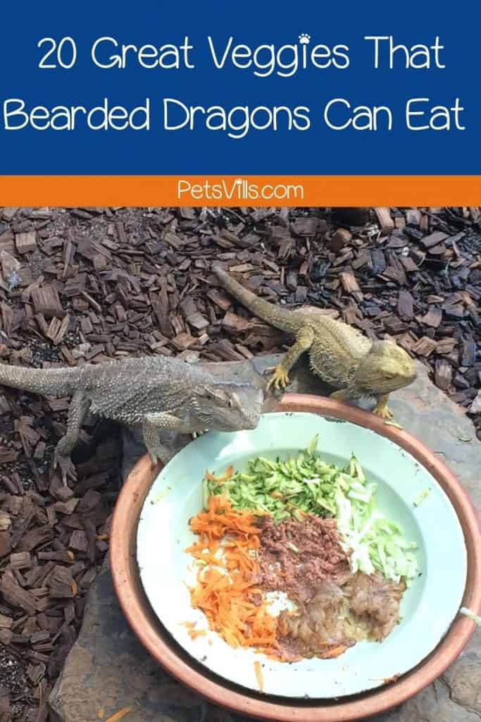 Looking for a good list of veggies that bearded dragons can eat? I've got you! Check out 20+ tasty & nutritious vegetables to add to your beardie's salad!