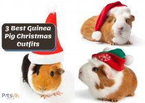 Top 3 Adorable Christmas Outfits for Your Guinea Pigs (2021)