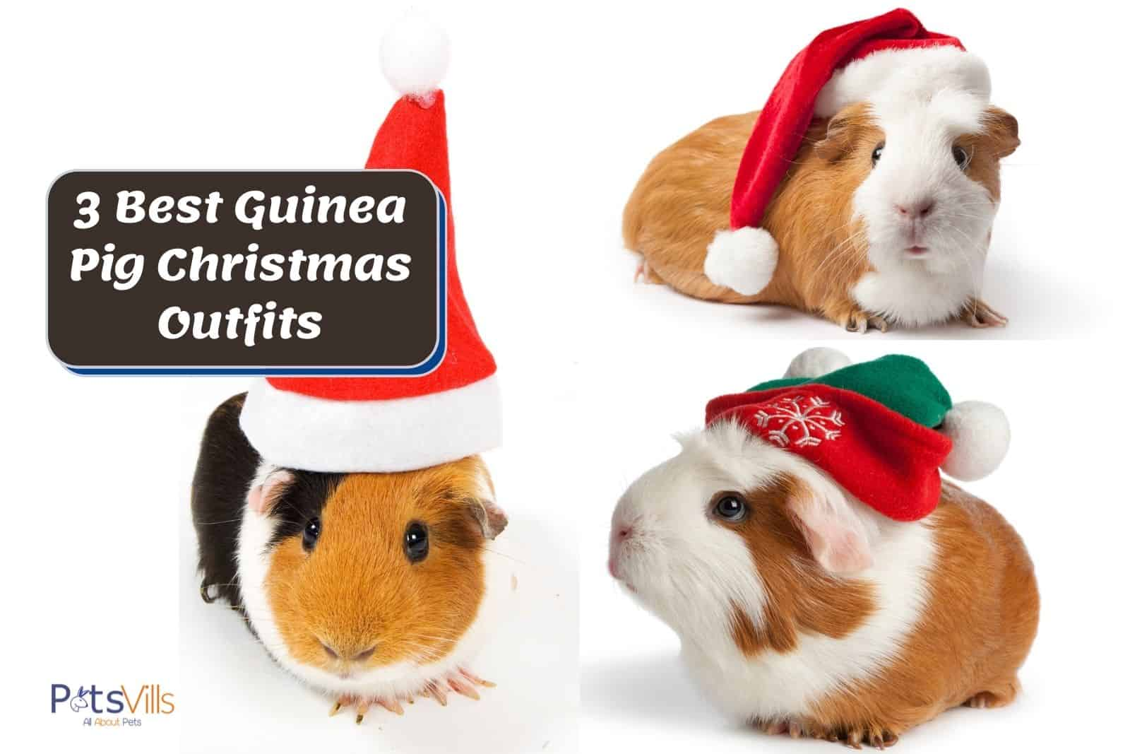 3 little cavies wearing Guinea Pig Christmas Outfits