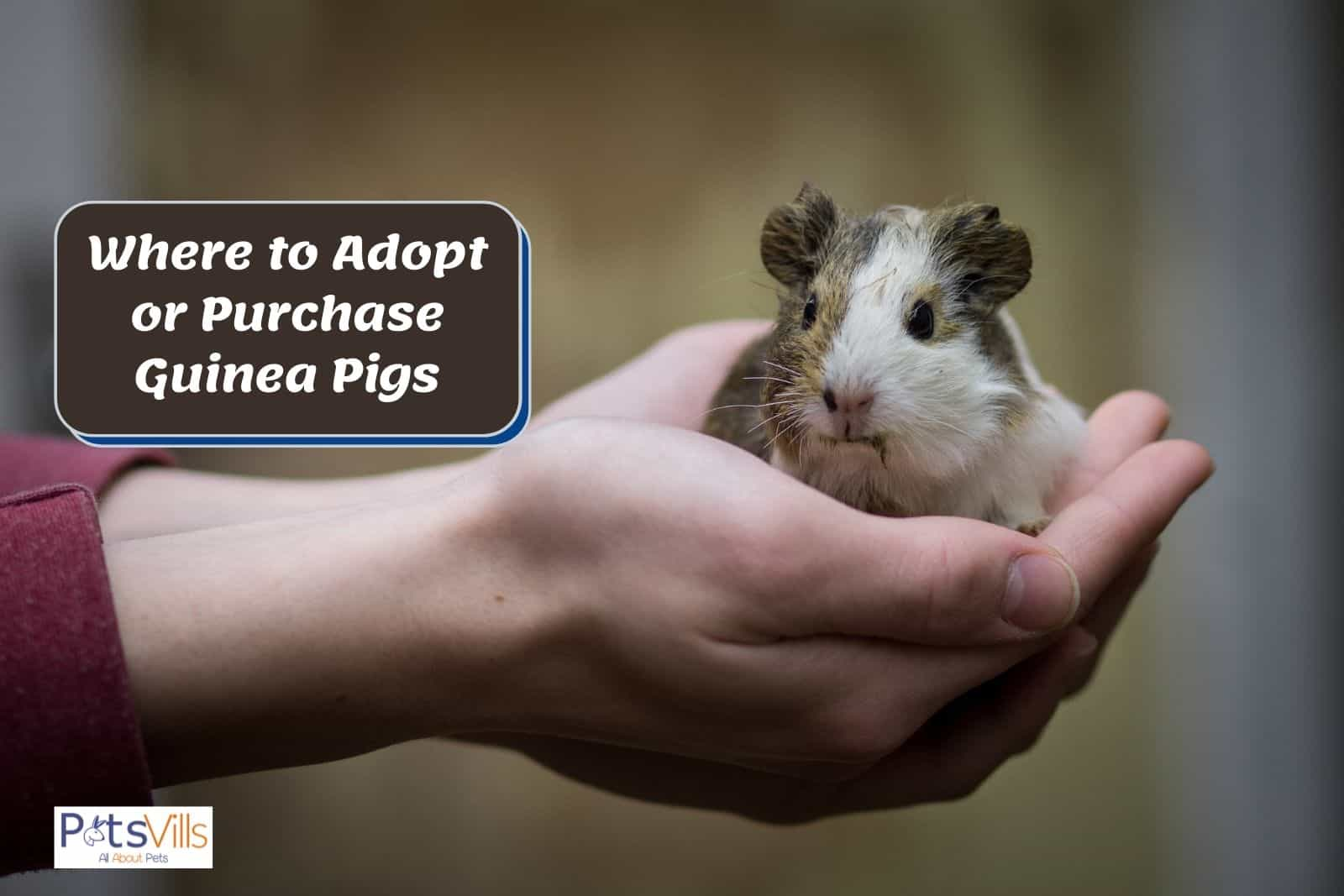a lady holding a tiny guinea pig: what are the Options on Where to Adopt or Purchase Your Guinea Pig?
