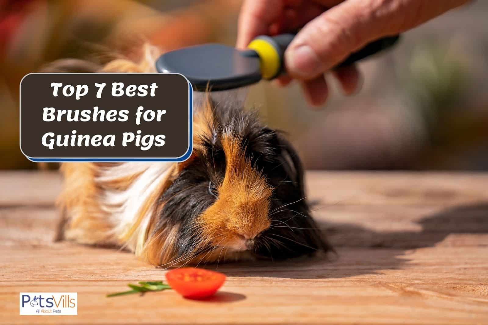 a lady grooming her cavy using the best brushes for guinea pigs