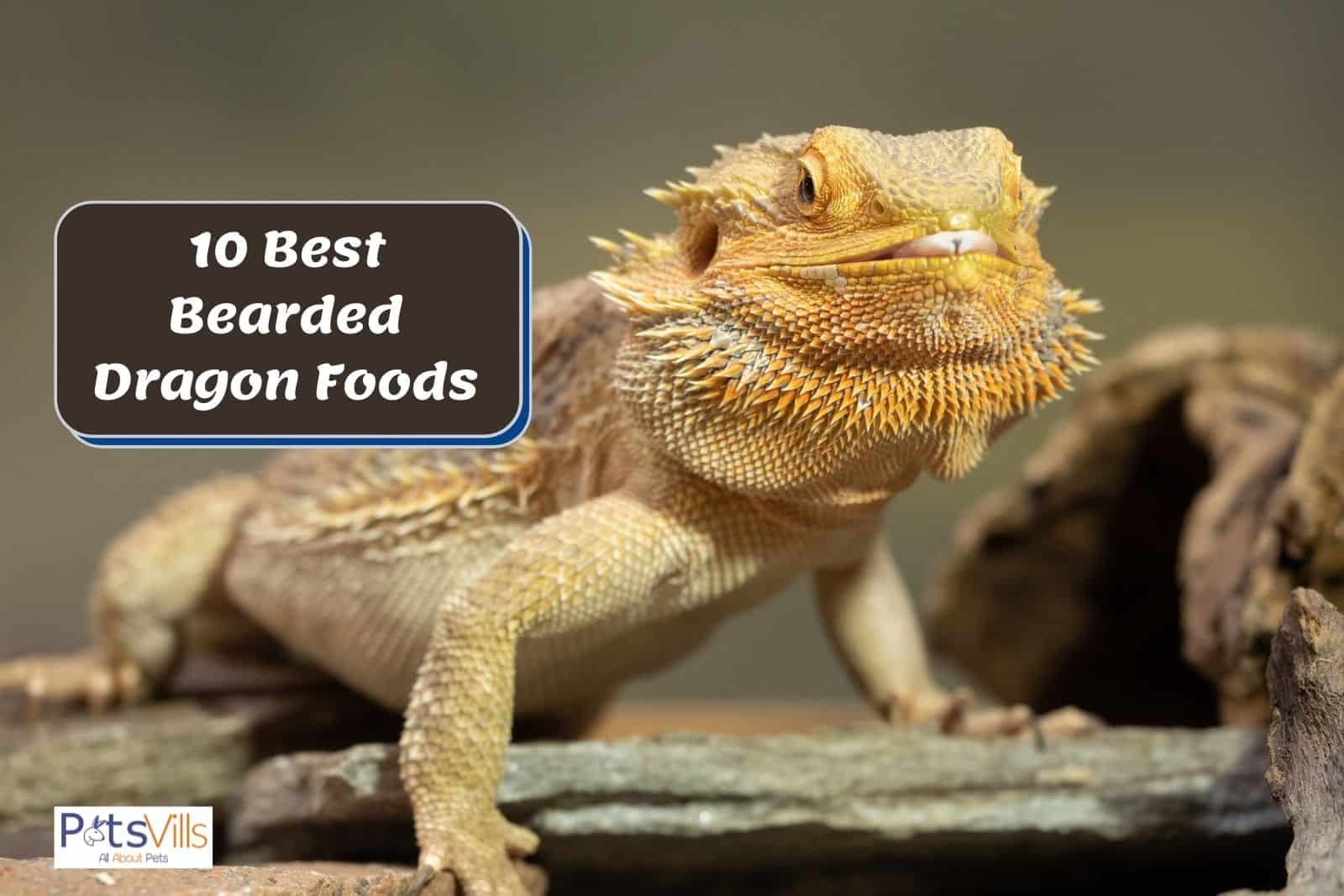 a yellow beardie chewing his best bearded dragon food