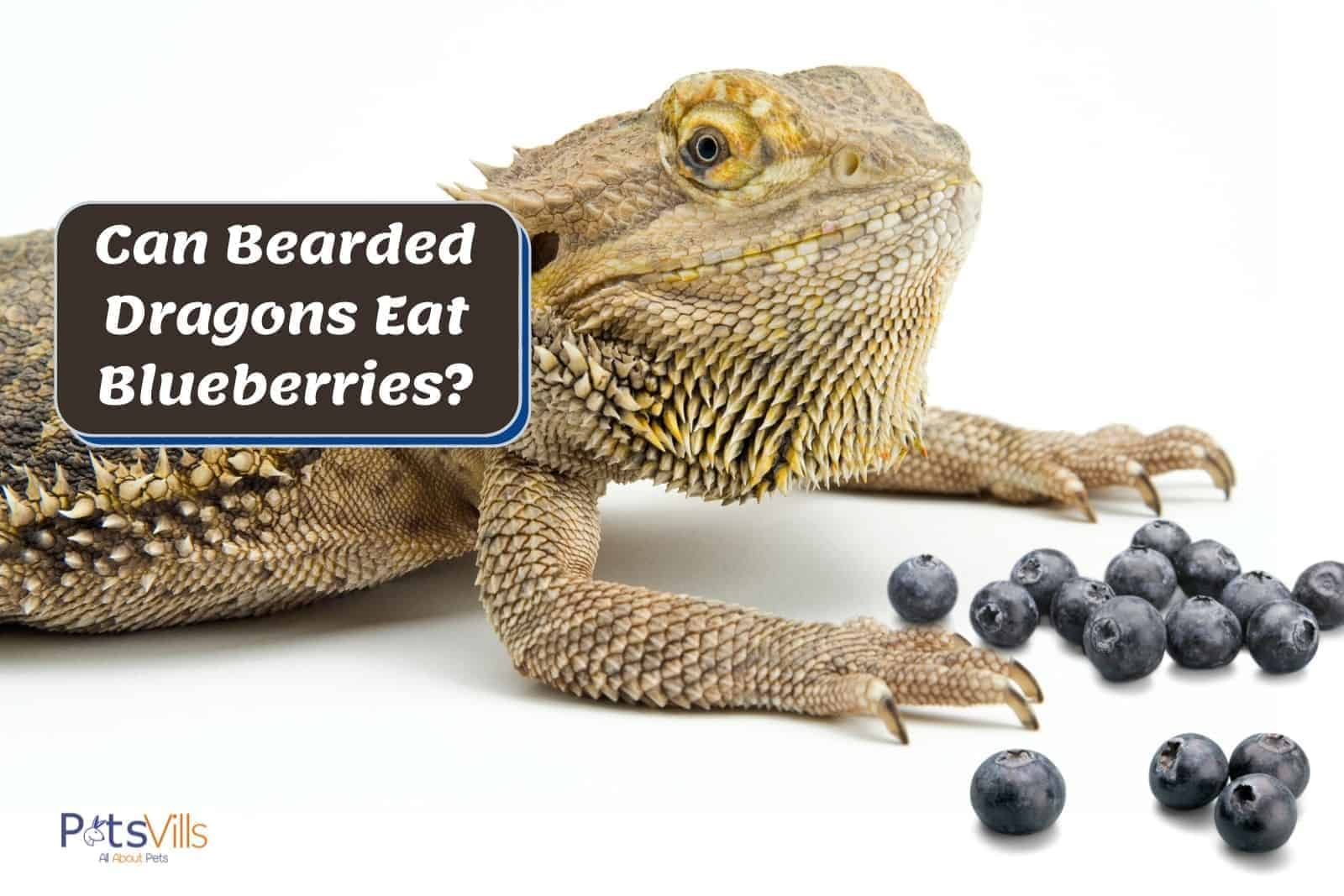 yellow beardie and pieces of blueberries: can bearded dragons eat blueberries?