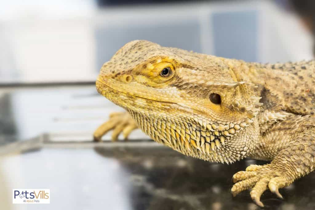 beardie on top of a glass table