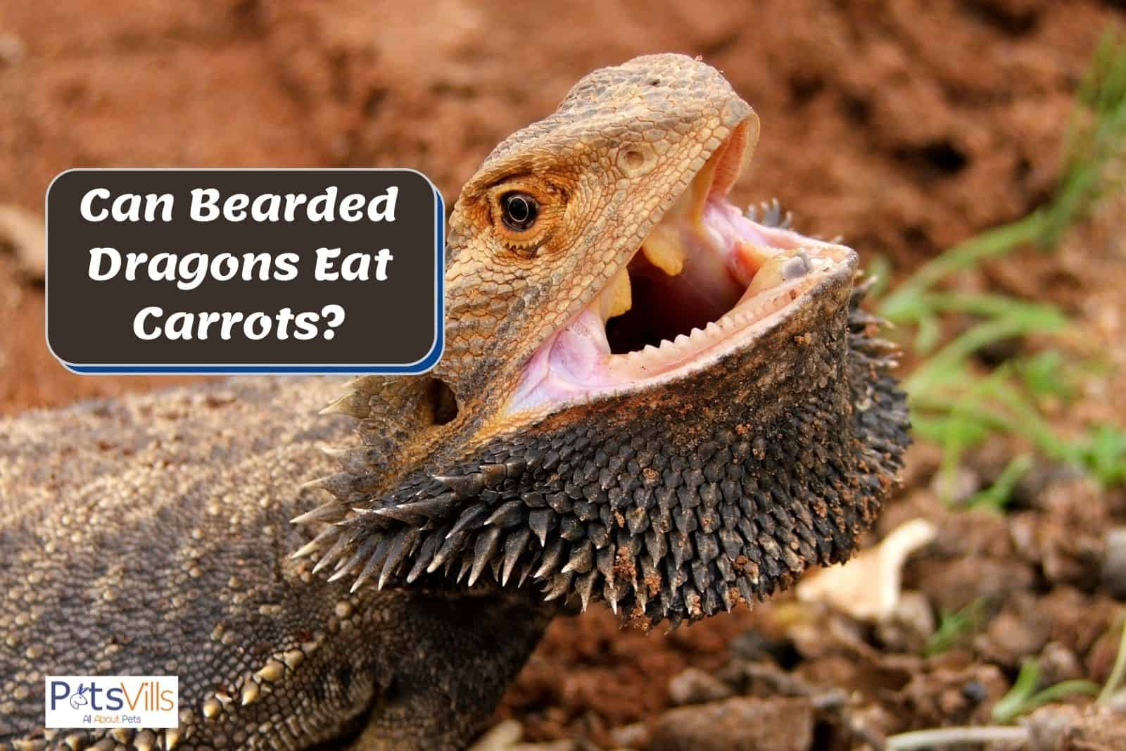 bearded dragon with a large open mouth