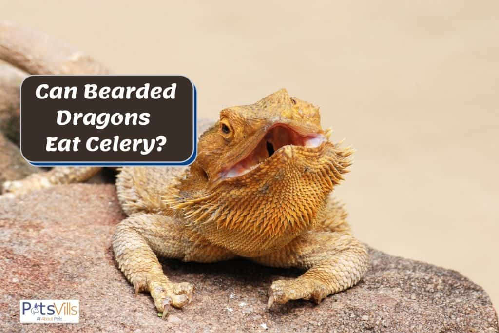 a bearded dragon with a large open mouth